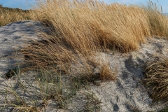 Marram grass, Hiddensee west coast, Germany