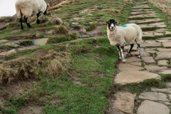 Sheep on Mam Tor, Peak District, England
