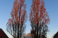 Sunrise poplars