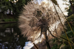 Big dandelion clock