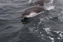 Dolphins, south-west of Ulva, Scotland