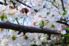 Apple blossom and bees iii