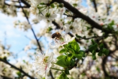 Apple blossom and bees i