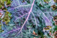 Allotment brocolli leaves