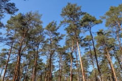 The woods around Berlin consist of the tall pines, typical of the whole of north-eastern Germany.